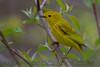 Yellow Warbler (b2872)