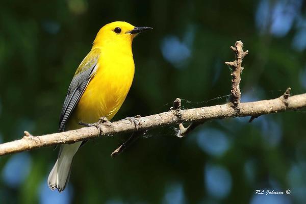 Prothonotary Warbler - Eufala GA