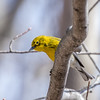 Pine Warbler - Greenbrook, NJ, April 2017