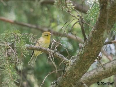Mud Lake, pine warbler: Setophaga pinus
