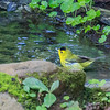 Wilson's warbler taking a bath