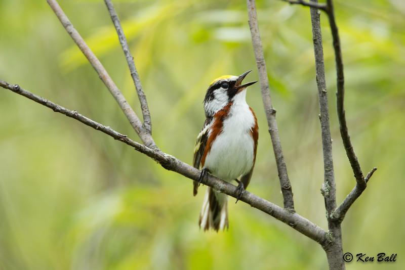 chestnut-sided warbler: Dendroica pensylvanica, singing, Thomas Dolan Parkway