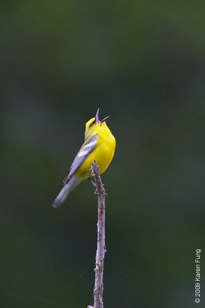 May 24th: Blue-winged Warbler singing in Orange County