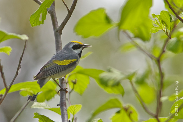 9 May: Golden-winged Warbler at Sterling Forest SP
