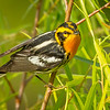Blackburnian Warbler, Boy Scout Woods, High Island, Texas