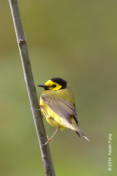6 May: Hooded Warbler in Central Park (Great Hill)