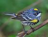 Yellow Rumped Warbler (b2881)