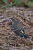 Yellow Rumped Warbler (b2884)