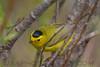 Wilson's  Warbler (b2862)
