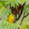 Mud Lake, yellow warbler: Dendroica petechia