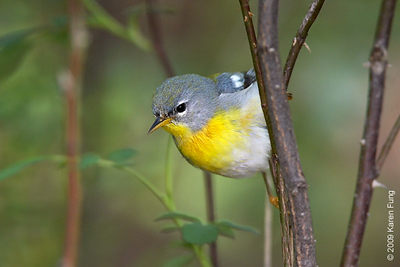 May 8th:  Northern Parula in Central Park