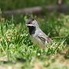 rueppell's warbler-male  סבכי שחור גרון-זכר