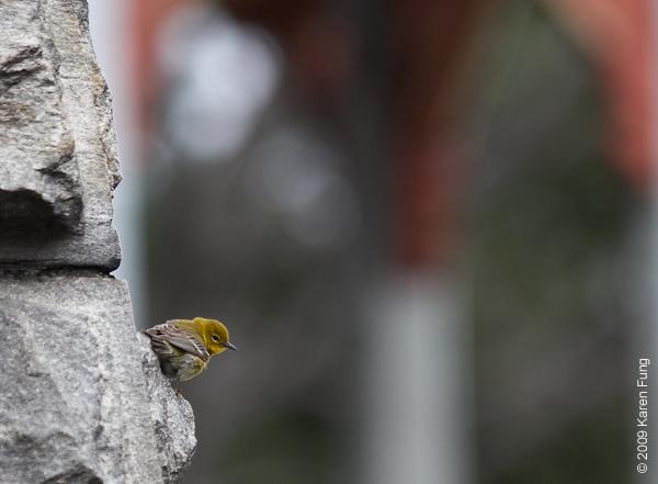 April 7th:  Pine Warbler at Belvedere Castle (Central Park)