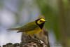 Hooded Warbler (b2751)