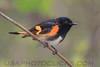 American Redstart (2903)