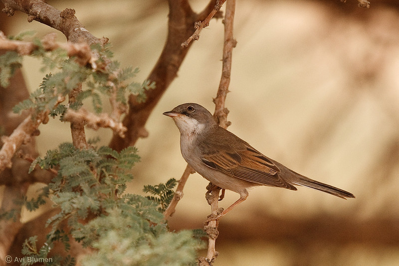 whitethroat סבכי קוצים