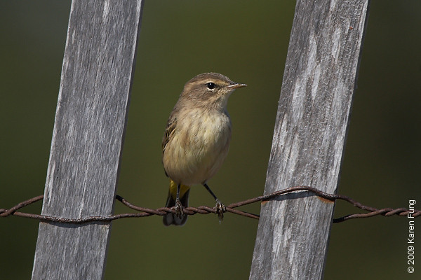 Oct 11th:  Palm Warbler at Jones Beach