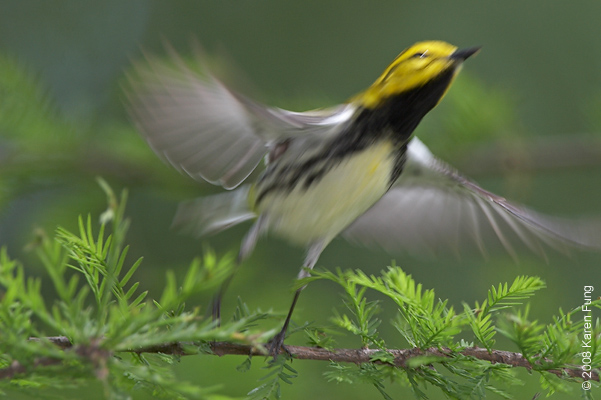 May 10th: Black-throated Green Warbler taking flight in Central Park