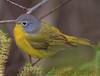 Nashville Warbler (b2801