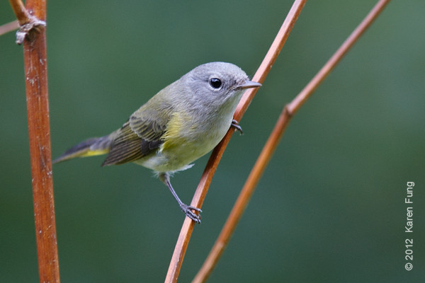 27 September: American Redstart in the Wildflower Meadow of Central Park