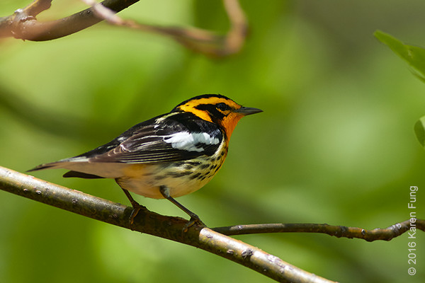 8 May: Blackburnian Warbler  in Central Park