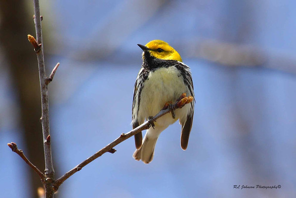 Black-throated Green Warbler - Maggie Valley, NC - May 2014