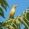 yellow warbler: Dendroica petechia, immature: juvenile, Mud Lake