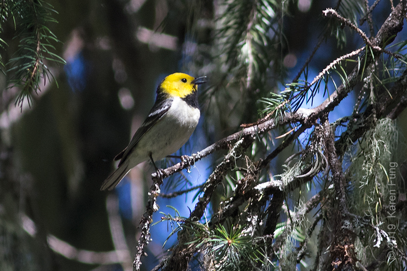 19 June: Hermit Warbler singing