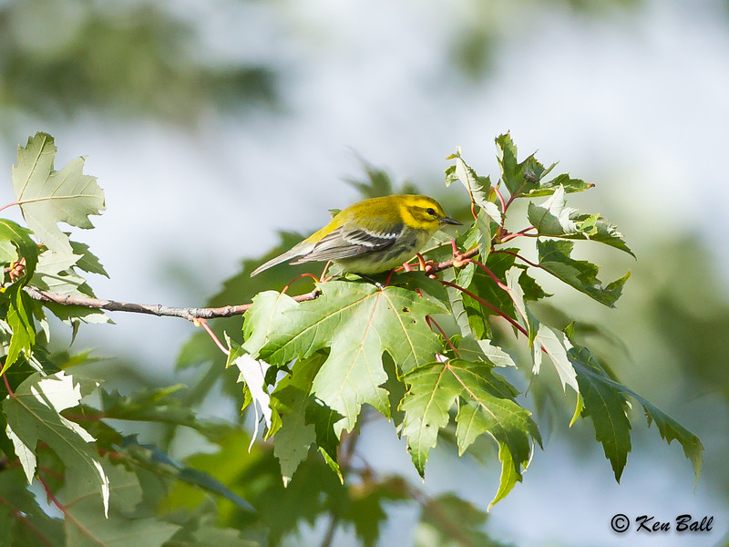 black-throated green warbler: Dendroica virens, female, immature: juvenile, Mud Lake