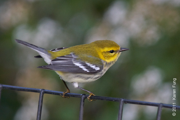 8 October: Black-throated Green Warbler in Central Park