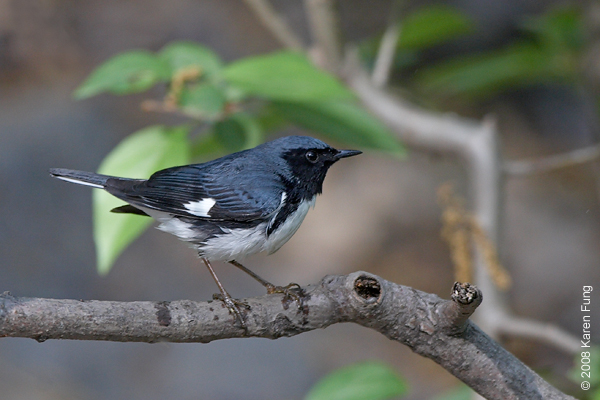 May 7th: Black-throated Blue Warbler in Central Park