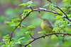 Orange-crowned Warbler<br /> Point Pelee National Park, ON