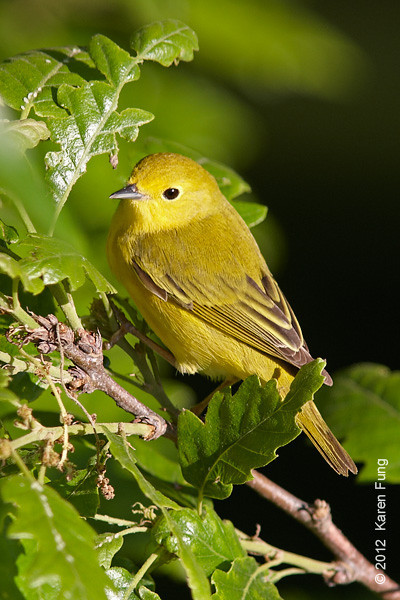 12 May: Female Yellow Warbler in Central Park