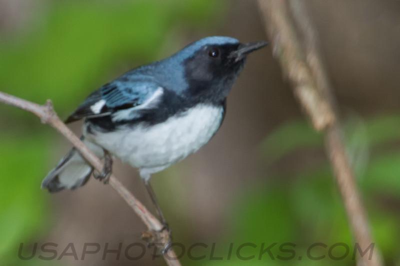 Black Throated Blue Warbler (b2711)