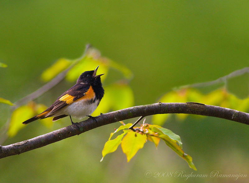 American Redstart<br /> Ithaca, NY