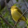 Yellow Warbler (b2874)