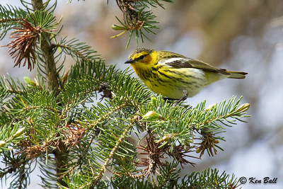 Cape May warbler: Dendroica tigrina, Mud Lake