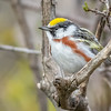 Chestnut-sided Warbler, Prince Edward Point National Wildlife Area, Ontario