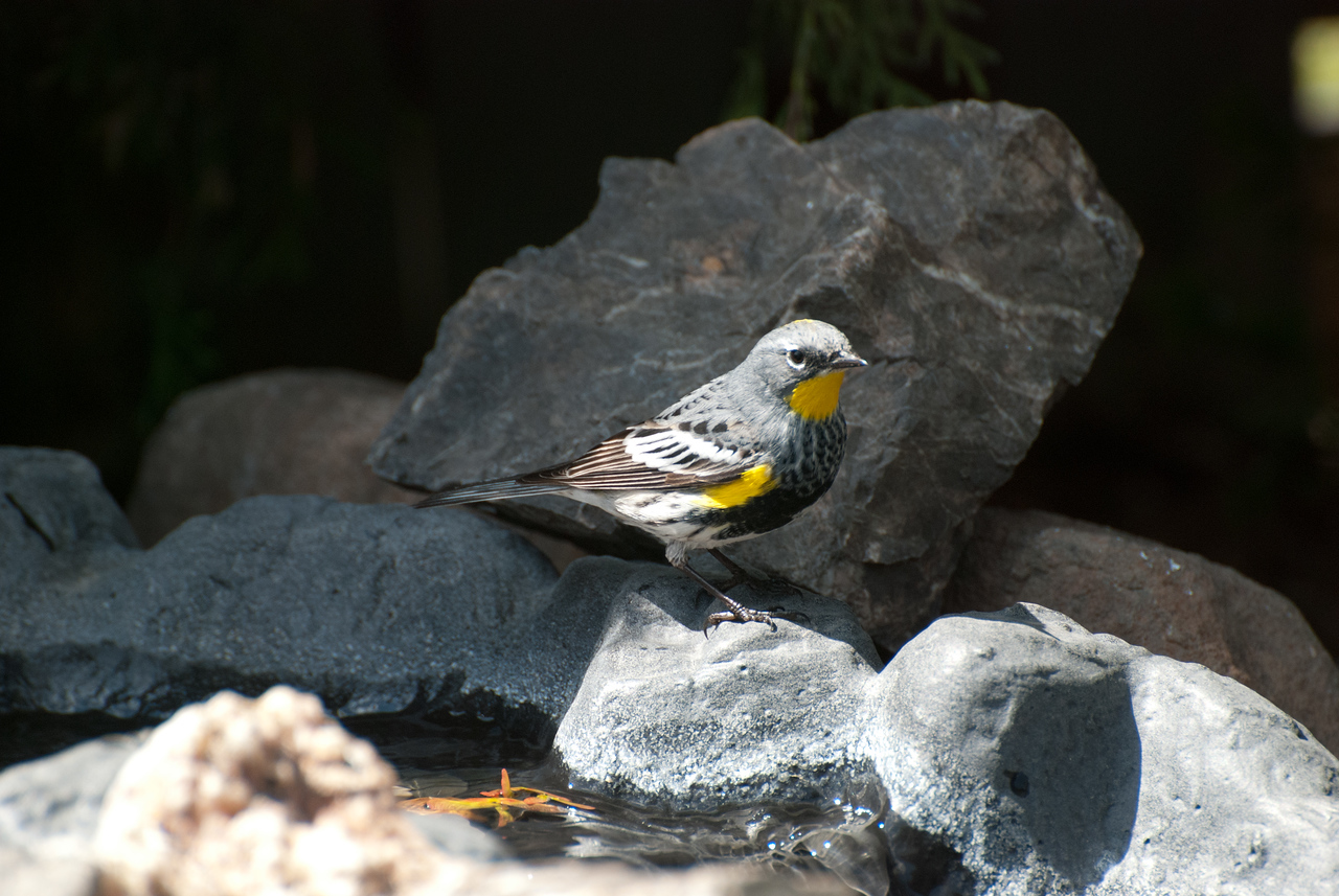 Yellow-rumped Warbler, male.