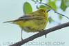Yellow Warbler (b2873)