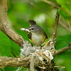 American redstart: Sehaga ruticilla, female, Mud Lake, nesting VIDEO in the warblers gallery