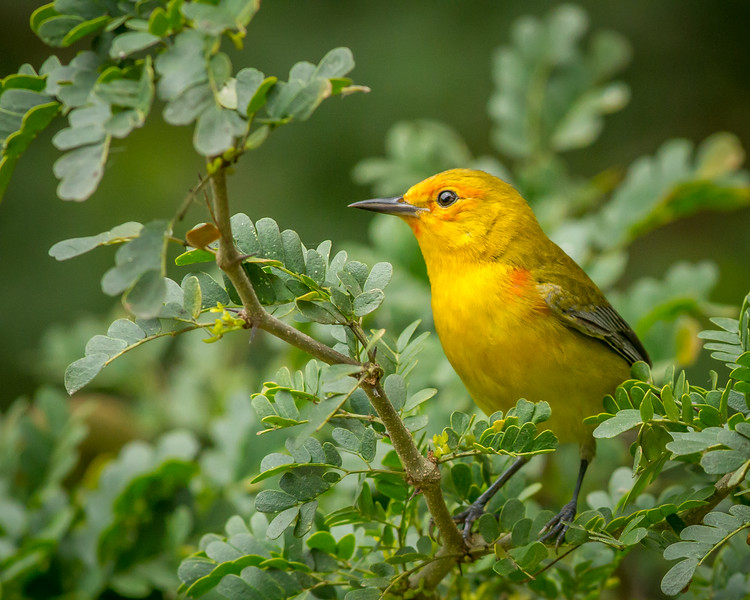 Prothonotary Warbler, South Padre Island Convention Center, Texas