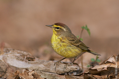 April 19th: Palm Warbler in Riverside Park