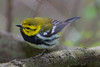 Black Throated Green Warbler (b2701)