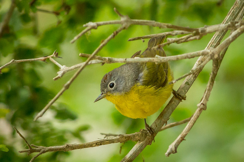 Nashville Warbler, South Padre Island Convention Center, Texas