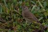 Palm Warbler (b2824)