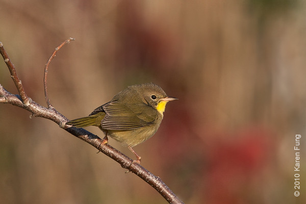 17 Oct: Common Yellowthroat at Jones Beach