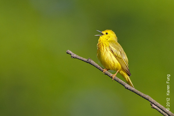 20 May: Yellow Warbler singing at Sterling Forest