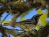 Yellow Throated Warbler (b2891)