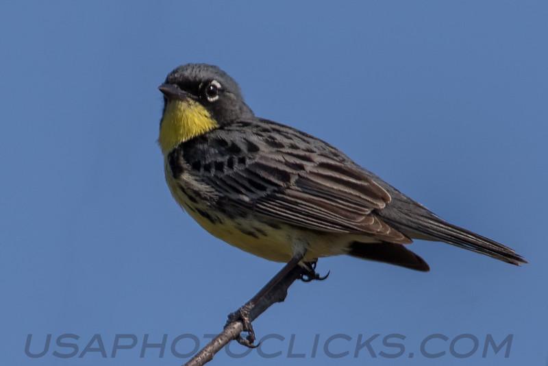 Kirtland's Warbler (b2765)